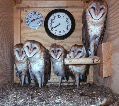 barn owls in nest box