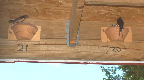 A new barn swallow shelter