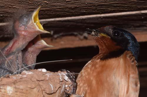 Barn swallow nesting 2015-2016
