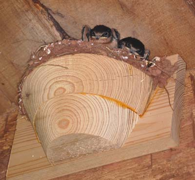 barn swallow bird house plans