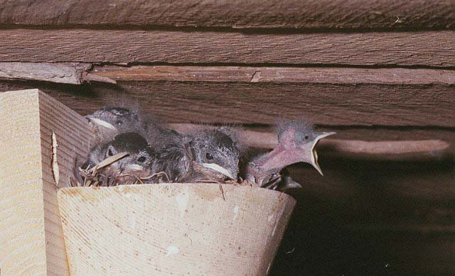 Testing artificial nests for the barn swallow