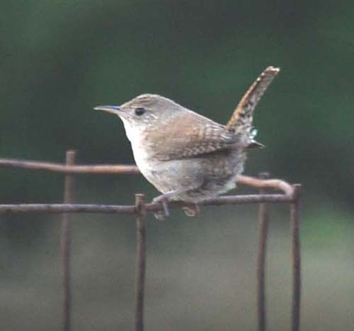 The Tomato Cage A Boon To Songbirds